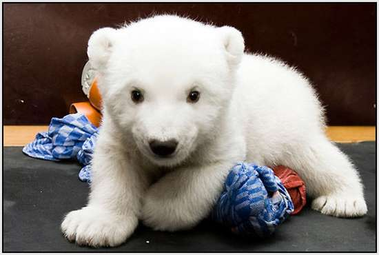 Flocke-Polar-Bear-1