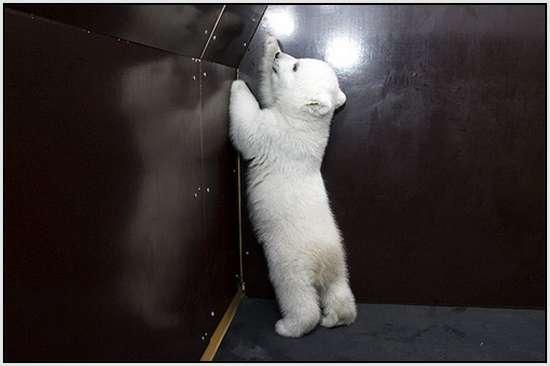 Flocke-Polar-Bear-5
