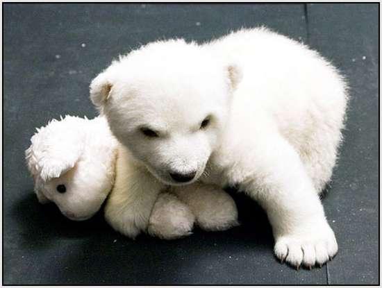 Flocke-Polar-Bear-7