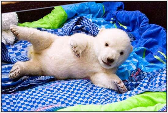 Flocke-Polar-Bear-8