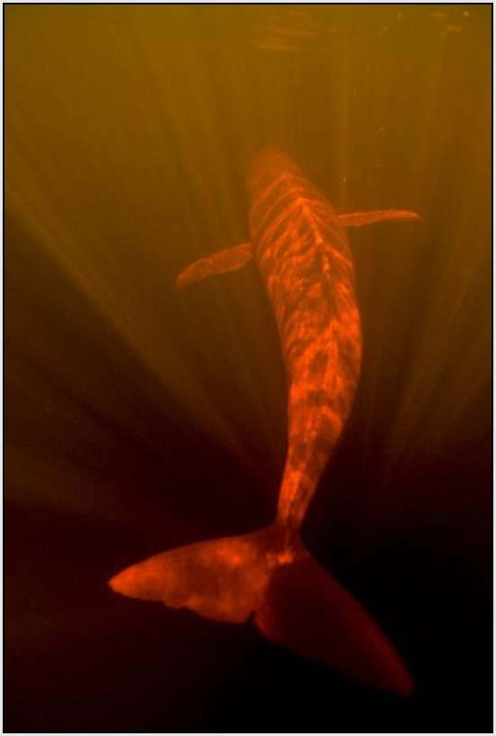 Pink-Amazonian-River-Dolphin-1