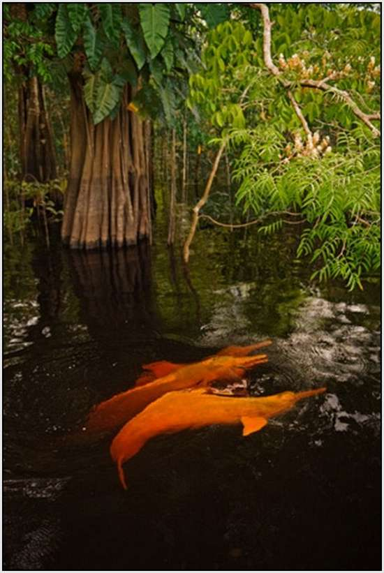 Pink-Amazonian-River-Dolphin-3
