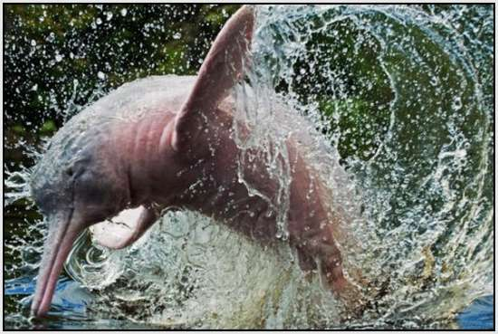 Pink-Amazonian-River-Dolphin-6