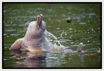 Pink-Amazonian-River-Dolphin