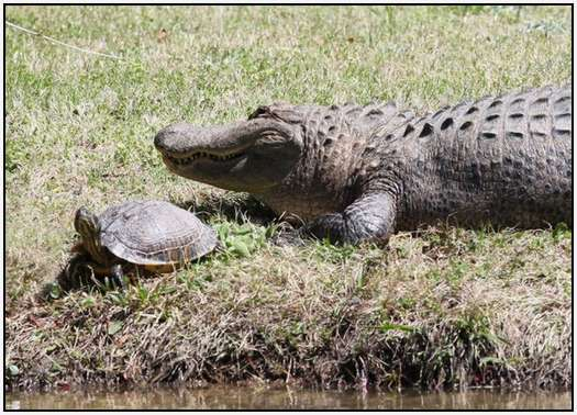 Alligators-and-Turtles-11