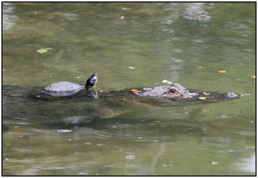 Alligators-and-Turtles-3
